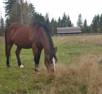 Older Horse Grazing Pasture
